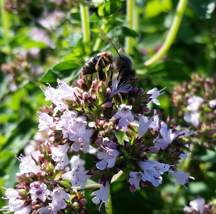 Pszczoła na oregano