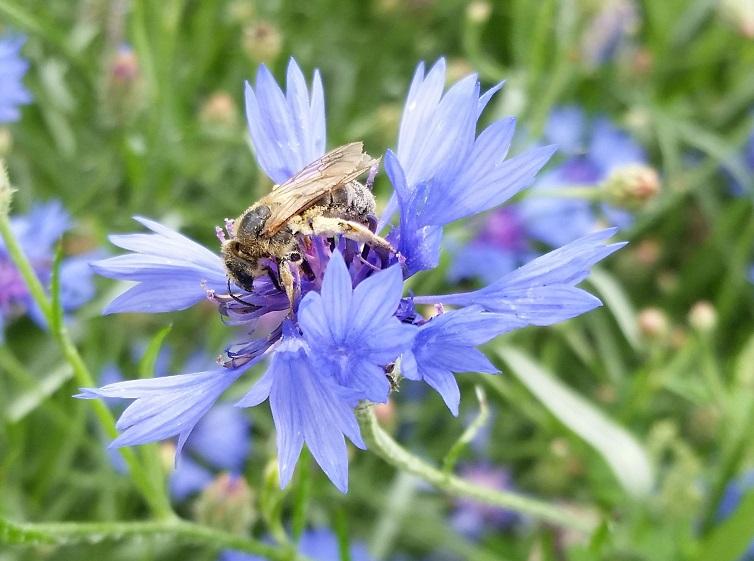 Pszczoła na chabrze